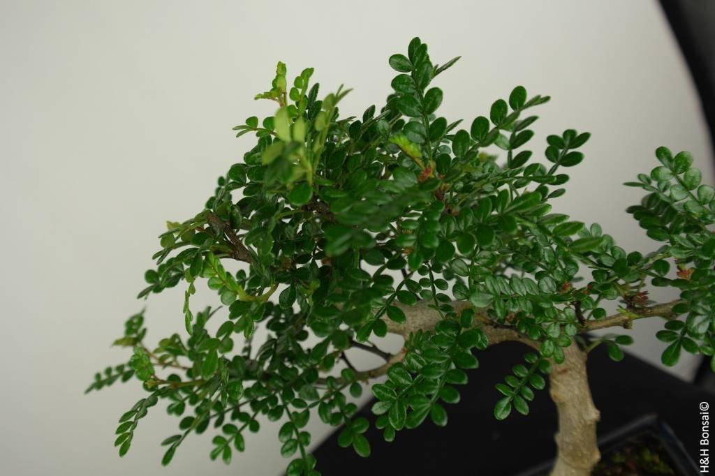 Bonsai Albero del pepe,Zanthoxylum piperitum, no. 7271