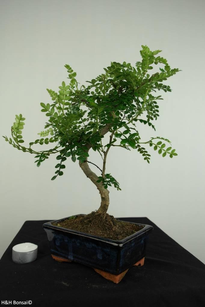 Bonsai Albero del pepe,Zanthoxylum piperitum, no. 7272