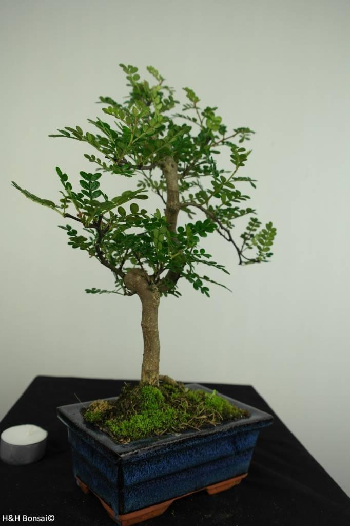 Bonsai Albero del pepe,Zanthoxylum piperitum, no. 7274