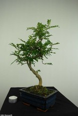 Bonsai Albero del pepe,Zanthoxylum piperitum, no. 7275