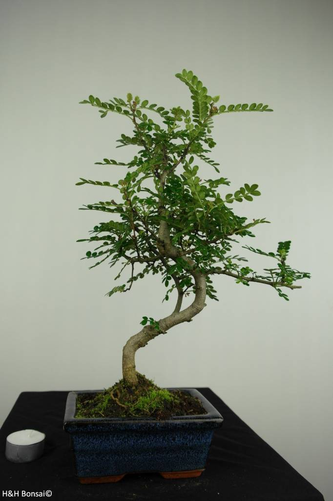 Bonsai Japanese Pepper, Zanthoxylum piperitum, no. 7275