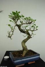 Bonsai Ficus retusa, no. 7276