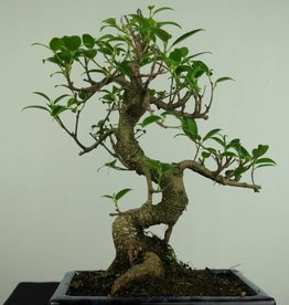 Bonsai Fig Tree, Ficus retusa, no. 7277