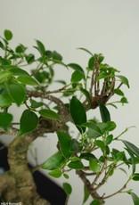 Bonsai Fig Tree, Ficus retusa, no. 7277
