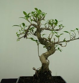 Bonsai Fig Tree, Ficus retusa, no. 7283