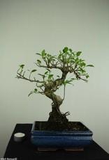 Bonsai Ficus retusa, no. 7283