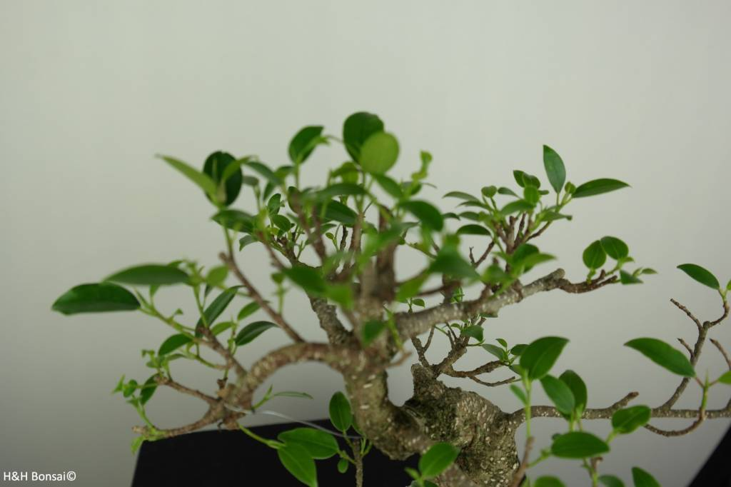 Bonsai Fig Tree, Ficus retusa, no. 7283