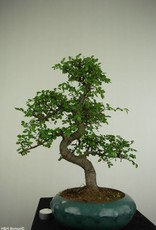Bonsai Chinese Elm, Ulmus, no. 7284