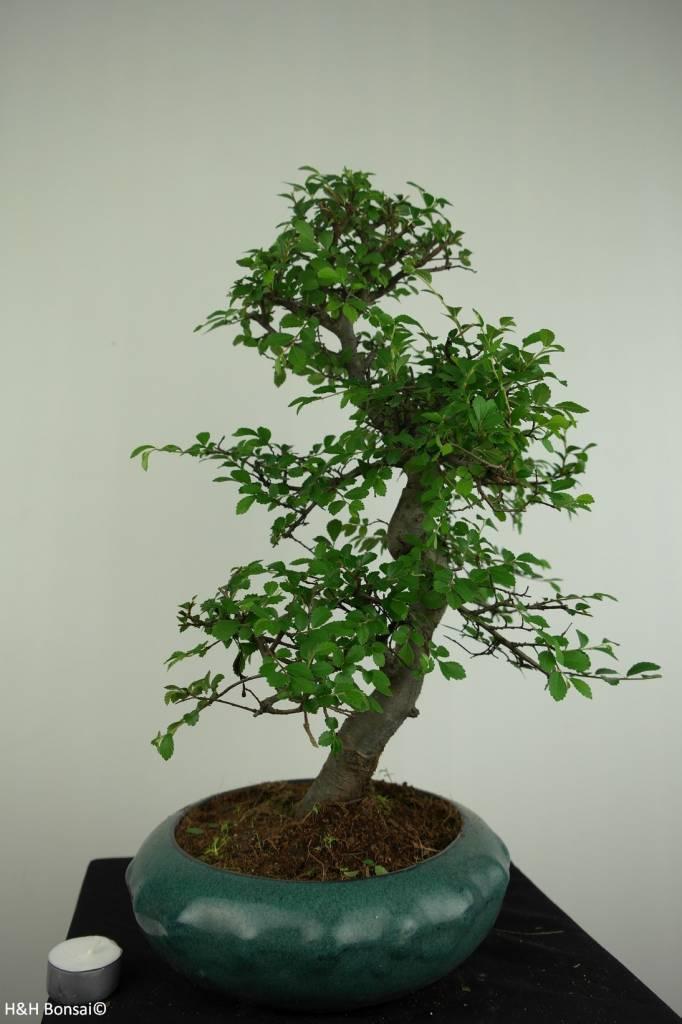 Bonsai Olmo cinese, Ulmus, no. 7284