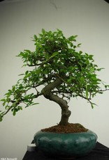 Bonsai Chinese Elm, Ulmus, no. 7290