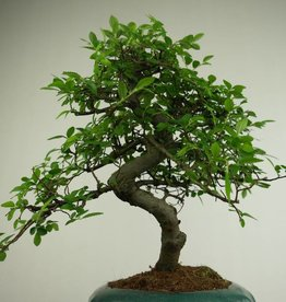 Bonsai Olmo cinese, Ulmus, no. 7290