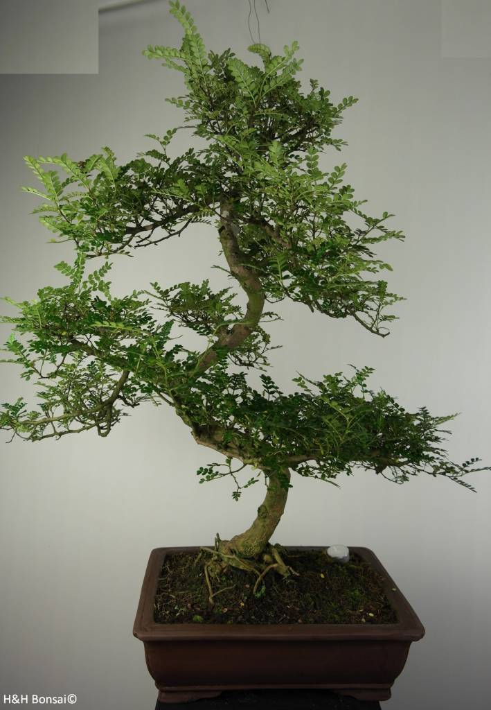 Bonsai Japanese Pepper, Zanthoxylum piperitum, no. 7292