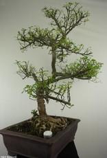 Bonsai Albero del pepe,Zanthoxylum piperitum, no. 7293