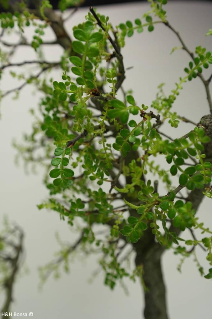 Bonsai Japanese Pepper,Zanthoxylum piperitum, no. 7293