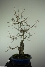 Bonsai Diospyros kaki, no. 7297