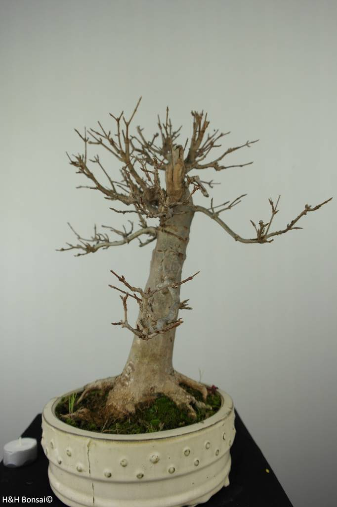 Bonsai Acero tridente, Acer buergerianum, no. 7298