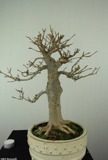 Bonsai Trident maple, Acer buergerianum, no. 7298