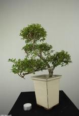 Bonsai Japanese Holly, Ilexcrenata, no. 6718
