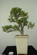 Bonsai Japanese Holly, Ilexcrenata, no. 6720