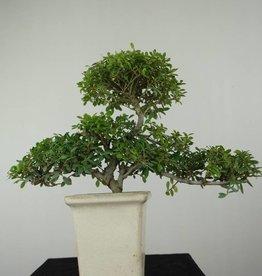 Bonsai Ilexcrenata, no. 6721