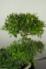 Bonsai Japanese Holly, Ilex crenata, no. 6721