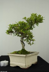 Bonsai Japanese Holly, Ilex crenata, no. 6749