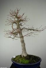 Bonsai Acero palmato, Acer palmatum, no. 6784
