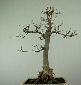 Bonsai Acero tridente, Acer buergerianum, no. 6910