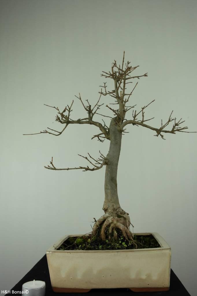 Bonsai Trident maple, Acer buergerianum, no. 6910