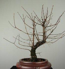 Bonsai Metasequoia, no. 6952