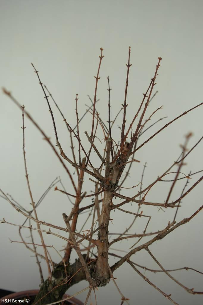 Bonsai Dawn Redwood, Metasequoia, no. 6952
