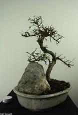 Bonsai Olmo cinese con roccia, Ulmus, no. 7307