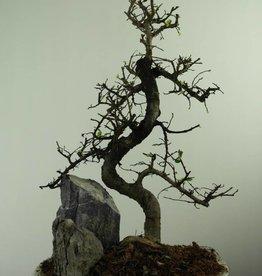 Bonsai Olmo cinese con roccia, Ulmus, no. 7308
