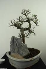 Bonsai Olmo cinese con roccia, Ulmus, no. 7309