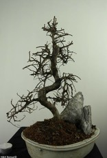 Bonsai Olmo cinese con roccia, Ulmus, no. 7310