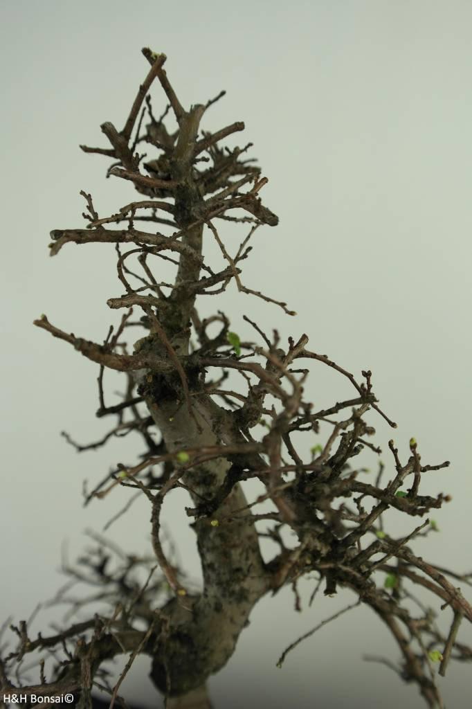 Bonsai Chinese Elm with rock, Ulmus, no. 7310