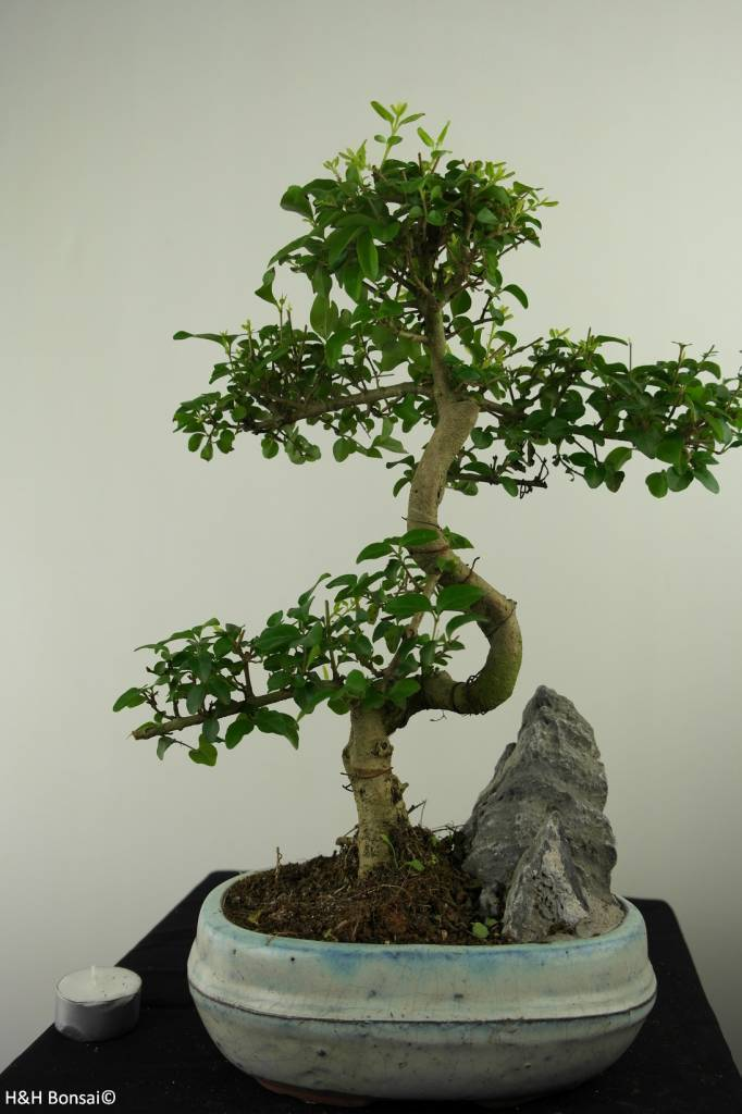 Bonsai Privet, Ligustrum nitida, no. 7312