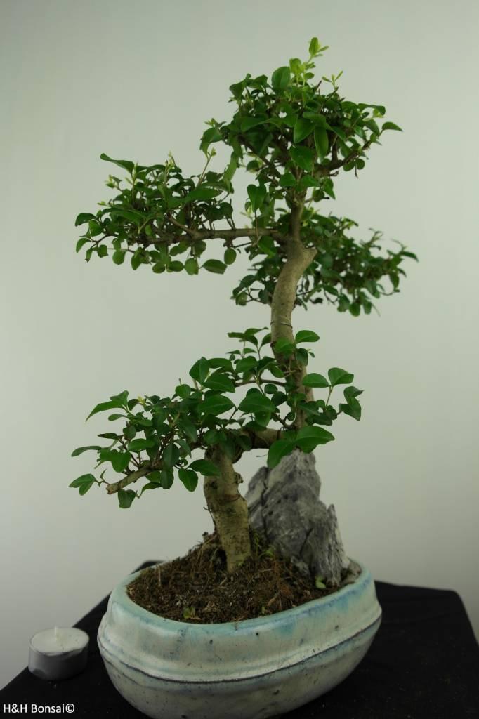 Bonsai Ligustro,Ligustrum nitida, no. 7312