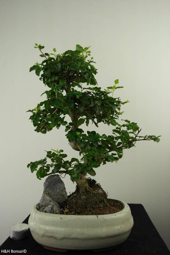 Bonsai Privet,Ligustrum nitida, no. 7315