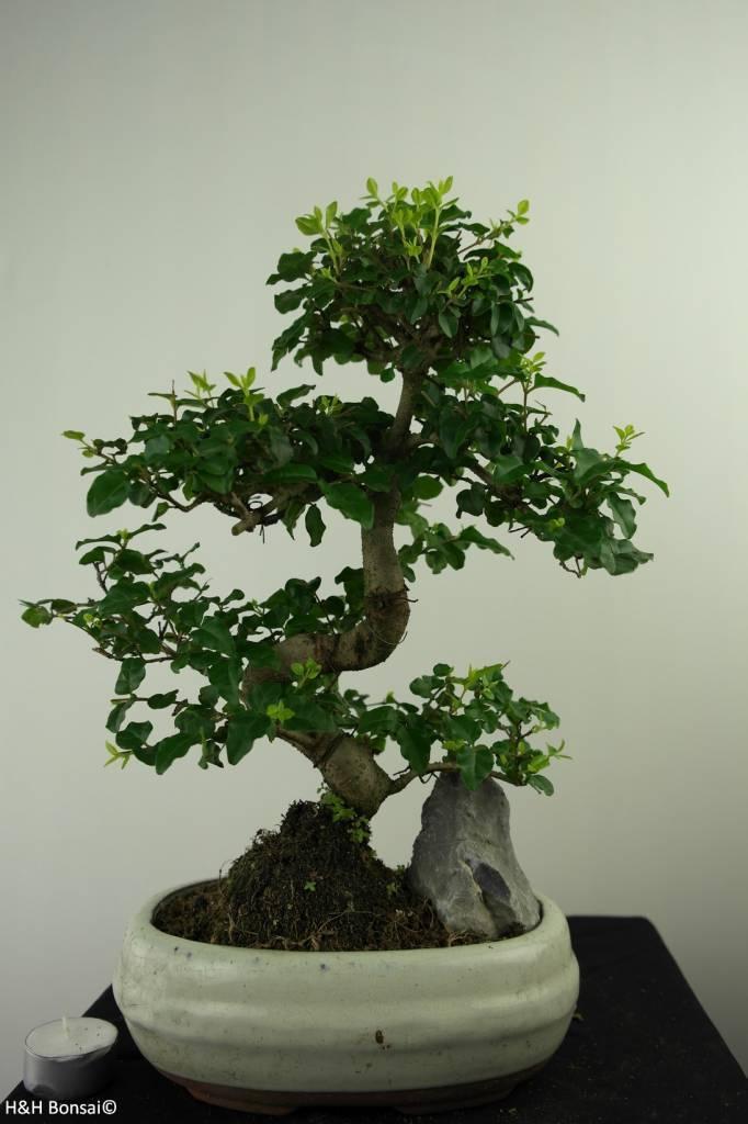 Bonsai Ligustro,Ligustrum nitida, no. 7315