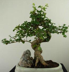Bonsai Ligustro,Ligustrum nitida, no. 7316