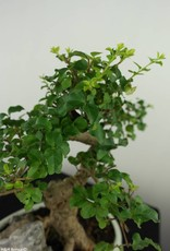 Bonsai Ligustro, Ligustrum nitida, no. 7316