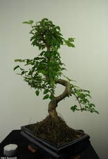 Bonsai Ligustro, Ligustrum nitida, no. 7322