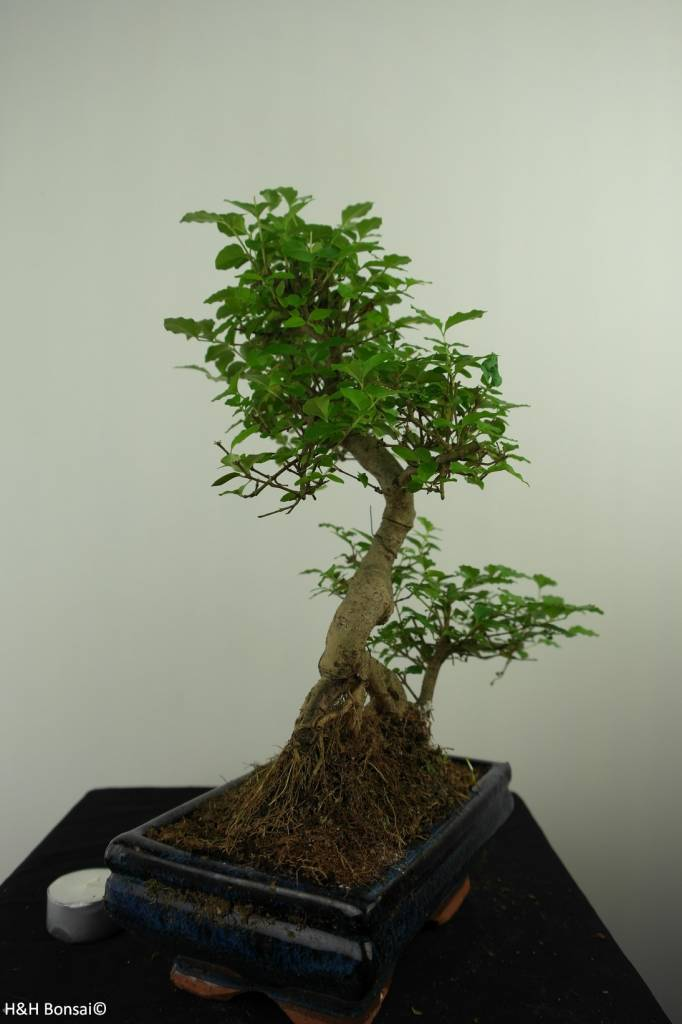 Bonsai Ligustro, Ligustrum nitida, no. 7325
