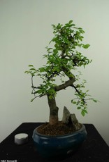 Bonsai Olmo cinese con roccia, Ulmus, no. 7326