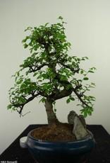 Bonsai Olmo cinese con roccia, Ulmus, no. 7328