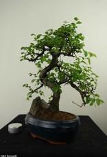 Bonsai Chinese Elm with rock, Ulmus, no. 7328