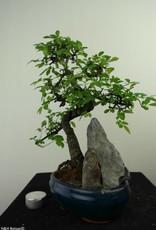 Bonsai Olmo cinese con roccia, Ulmus, no. 7329