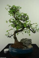 Bonsai Olmo cinese con roccia, Ulmus, no. 7330