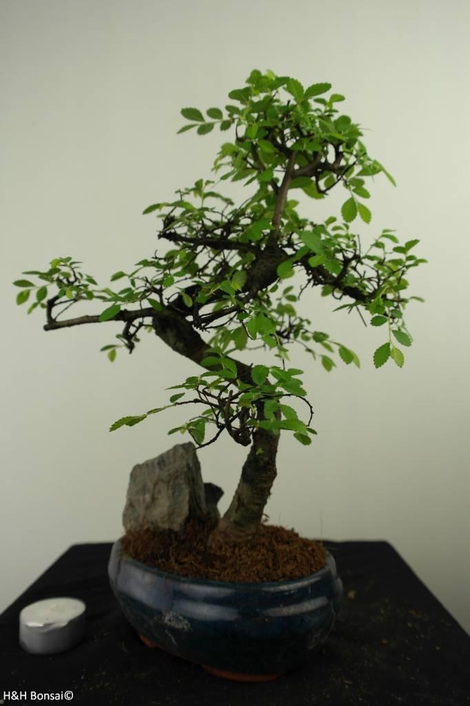 Bonsai Olmo cinese con roccia, Ulmus, no. 7331